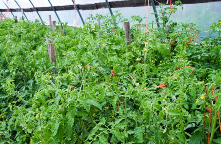 Tomato plants in hoophouse