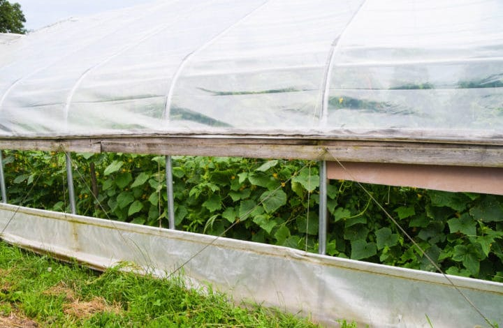 Cucumbers in hoophouse