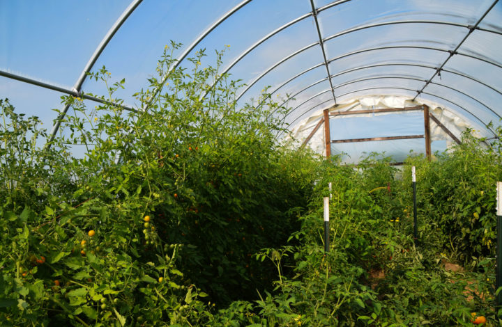 Hoop house with tomato plants