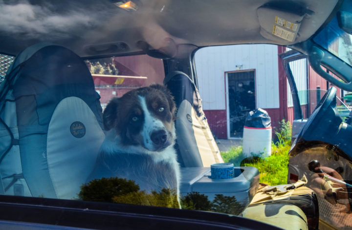 Nutmeg the dog looking out from inside the farm truck