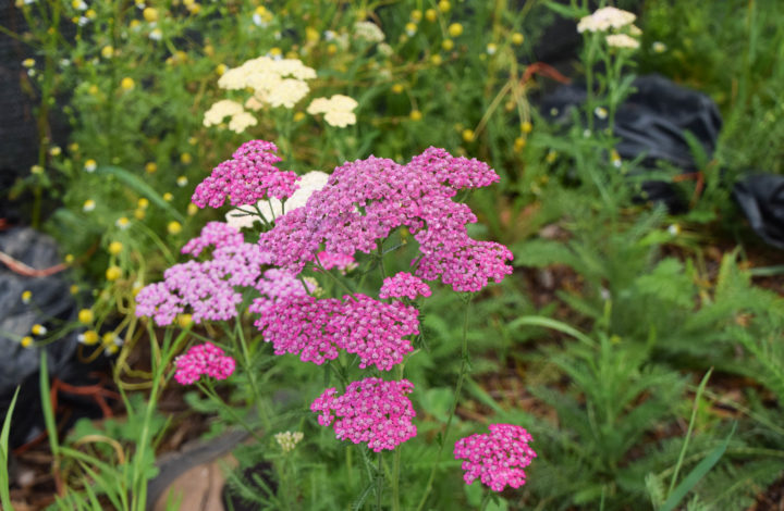 Pink yarrow blossoms