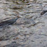 Water Resources from Salmon Spills to Agricultural Runoff