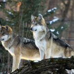 "The ""Gray Area"" of Wolf Hunting"