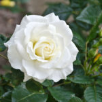 """""""The White Rose"""" looks at protests in Nazi Germany"""