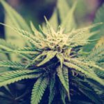 Cannabis Catch-Up: A Look at Federal and Local Effects