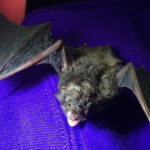 Photo of a Little Brown Nosed Bat from nrs.fs.fed.us