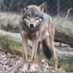 New UW Study: Killing Wolves is not the Answer