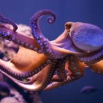 Cephalopods, such as Octopus and Squids