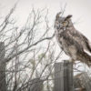 Great horned owl (Bubo virginianus) in the Central Oregon High Desert.
