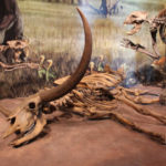 bison skeleton in museum