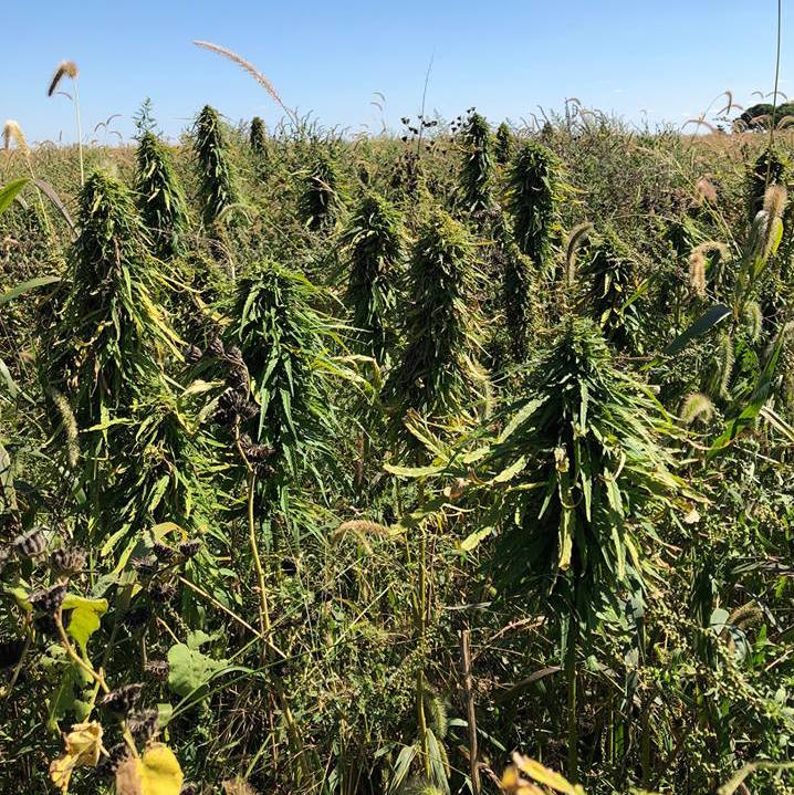A Wisconsin Hemp Harvest