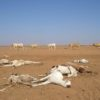 camels dying from drought